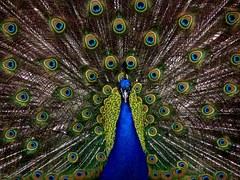 peacock-1868__180