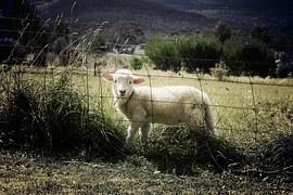 lamb-451982__180